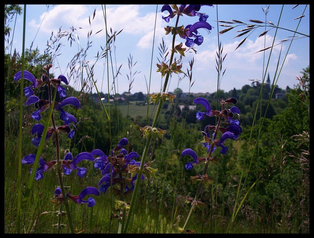 wiesenblumen bestimmen blau